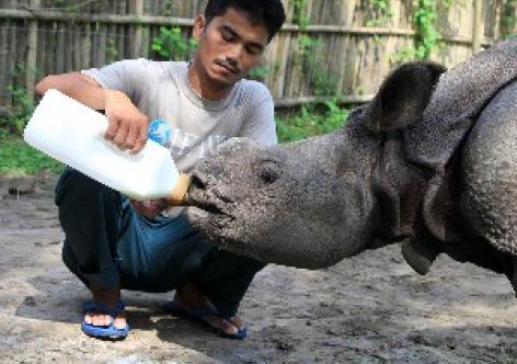 Purabi elephant calf